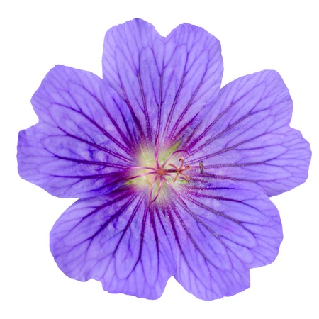 Beautiful Purple Geranium Flower with Visible Veins in Petals Isolated on White Background 스톡 콘텐츠