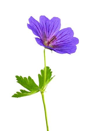 Whole Geranium Flower Isolated on White Background