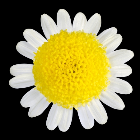 Yellow Flower with White Petals Isolated on Black Background photo