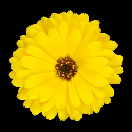 One Blossoming Yellow Pot Marigold Flower - Beautiful Calendula officinalis Isolated on Black Background. Top view photo
