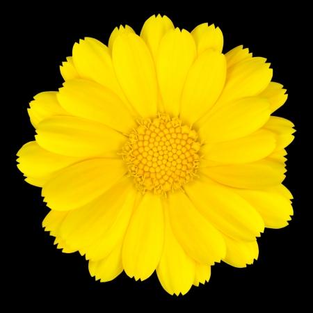 Beautiful Yellow Daisy Isolated on White Background