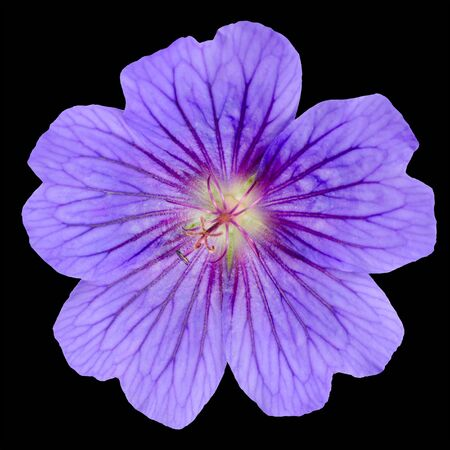 Beautiful Purple Geranium Flower with Visible Veins in Petals Isolated on Black Background photo
