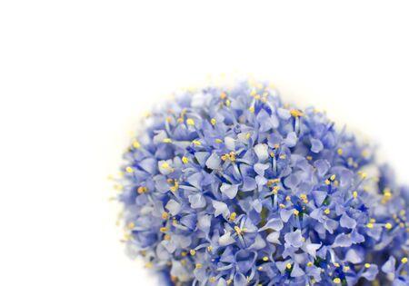 objec: Ceanothus blue shrub flower isolated on white background