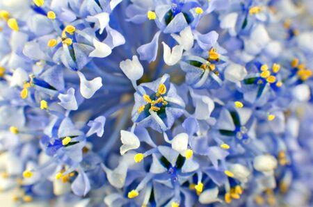 objec: Ceanothus blue shrub flower full background