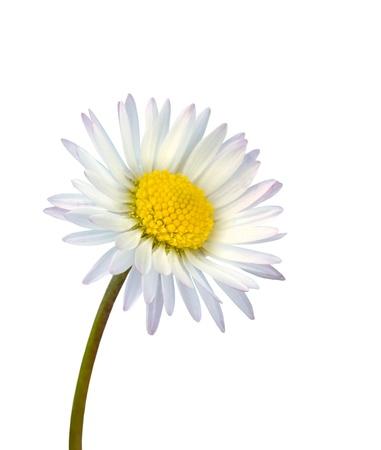 White common daisy flower isolated on white background