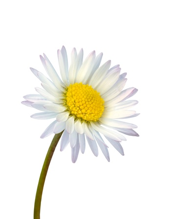 White common daisy flower isolated on white background