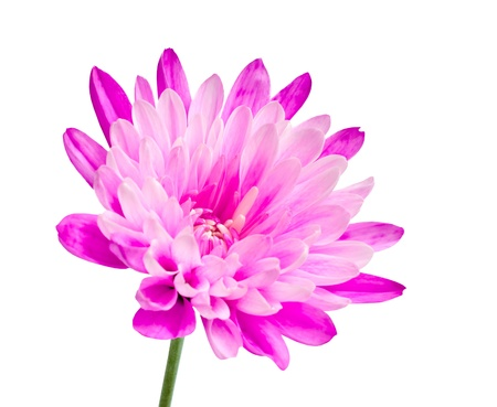 Pink chrysanthemum flower on green stick isolated on white background