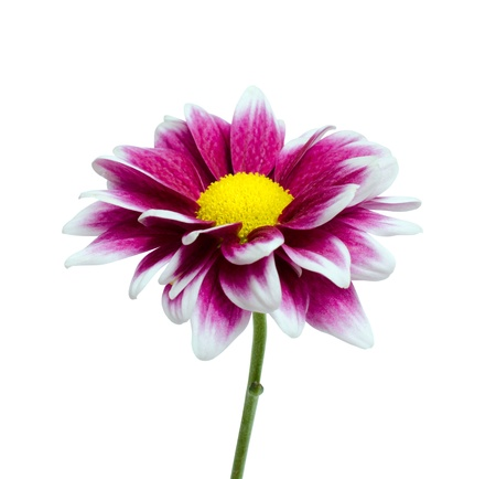 Purple Dahlia flower with yellow center isolated on white background photo