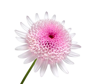 matricaria recutita: Pink Daisy with large center flower Isolated on white background
