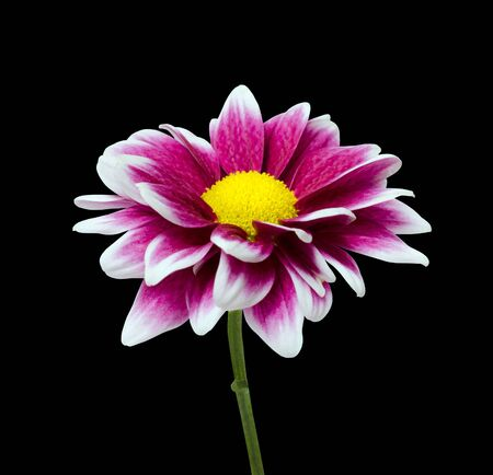 Fresh Purple Dahlia flower with yellow center isolated on black background photo