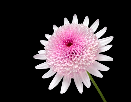 matricaria recutita: Fresh Pink Daisy with large center flower Isolated on black background