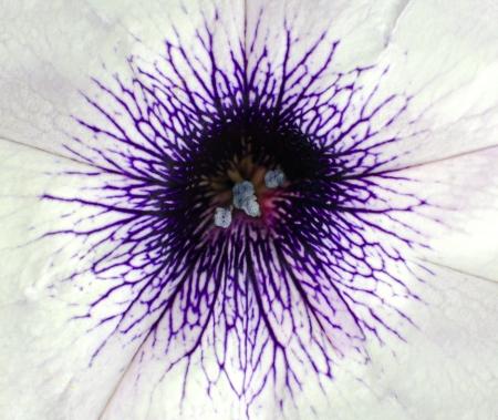 White Morning Glory flower with purple center  Macro flower background Stock Photo - 14660717