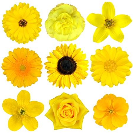 gerber flowers isolated on: Collection of Yellow Flowers Isolated on White. Various set of Dahlia, Dandelion, Daisy, Gerber, Sunflower, Marigold Flowers Stock Photo