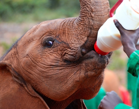 Baby elephant feeding from a bottle of milk in Sheldrick Elephant Orphanage near Nairobi Kenya Stock Photo