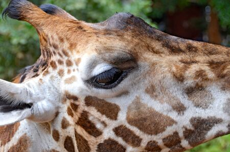 Close-up on Giraffe photo