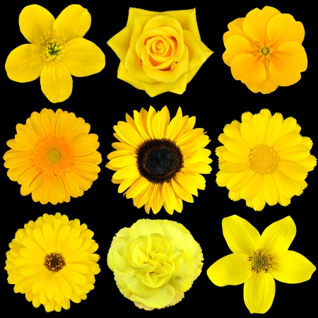 Collection of Nine Yellow Flowers Isolated on Black  Various set of Dahlia, Dandelion, Daisy, Gerber, Sunflower, Marigold Flowers photo
