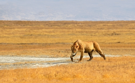 kalahari: Female Lion Walking and getting ready for hunt in dry Grasslands of Ngorongoro crater near Serengeti National Park