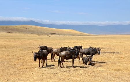 Group of Wildebeest standing calmly on dry plains of Ngorongoro crater on Safari near Serengeti National Park  photo