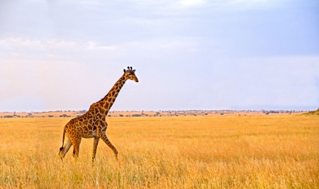 Single Giraffe walking on huge savannah plains of the Serengeti National Park