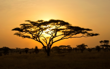 Rising Sun shinning through an Acacia tree in Africa