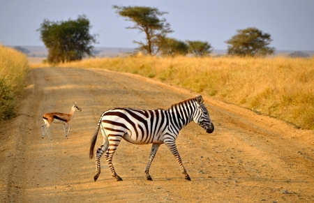 Young Zebra crossing road with Antelope on Safari in Serengeti National Park during sunrise