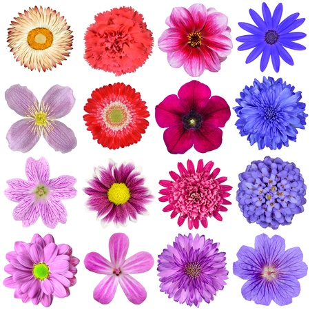 Big Selection of Colorful Flowers Isolated on White Background  Various Red, Pink, Purple, White Colors including rose, dahlia, marigold, zinnia, strawflower, sunflower, daisy, primrose and other wildflowers