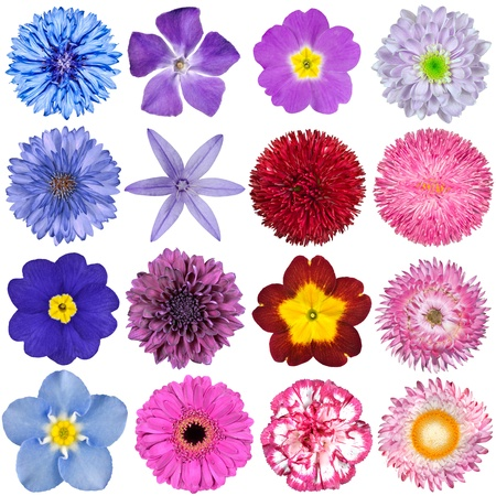 Big Selection of Colorful Flowers Isolated on White Background  Various Red, Pink, Purple, White Colors including rose, dahlia, cornflower, zinnia, strawflower, sunflower, daisy, primrose and other wildflowers