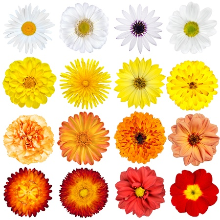 Big Selection of Various Flowers Isolated on White Background  Red, Pink, Yellow, White Colors including rose, dahlia, marigold, zinnia, strawflower, sunflower, daisy, primrose and other wildflowers