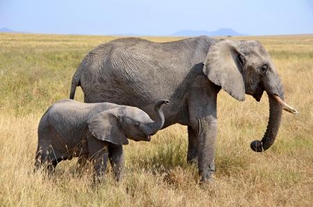 Elefant: Baby-Elefant mit Mutter stehend in Dry Grass auf Safari in Serengeti Nationalpark Lizenzfreie Bilder