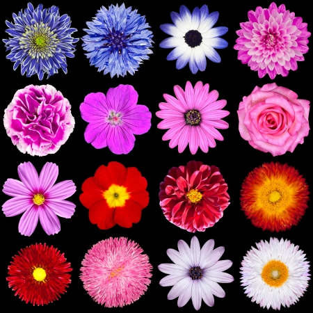 Selection of Various Flowers Isolated on Black Background. Red, Pink, Purple, White Colors including rose, dahlia, marigold, zinnia, strawflower, sunflower, daisy, primrose and other wildflowers