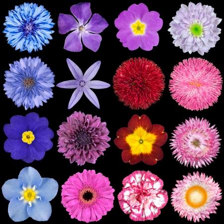 Grand choix de fleurs colorées isolé sur fond noir. Diverses rouge, rose, violet, rose Couleurs Blanc y compris, le dahlia, le souci, zinnia, strawflower, tournesol, marguerite, d'onagre et d'autres fleurs sauvages Banque d'images - 16016327