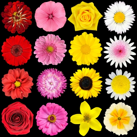 Big Selection of Various Flowers Isolated on Black Background. Red, Pink, Yellow, White Colors including rose, dahlia, marigold, zinnia, strawflower, sunflower, daisy, primrose and other wildflowers