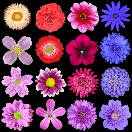 Big Selection of Colorful Flowers Isolated on Black Background. Various Red, Pink, Purple, White Colors including rose, dahlia, marigold, zinnia, strawflower, sunflower, daisy, primrose and other wildflowers