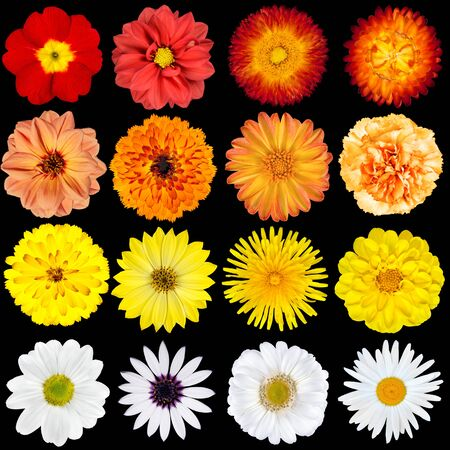 big daisy: Big Selection of Various Flowers Isolated on Black Background. Red, Pink, Yellow, White Colors including rose, dahlia, marigold, zinnia, strawflower, sunflower, daisy, primrose and other wildflowers