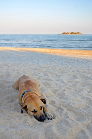 Dog on sandy beach resting with sea and Island in the background photo