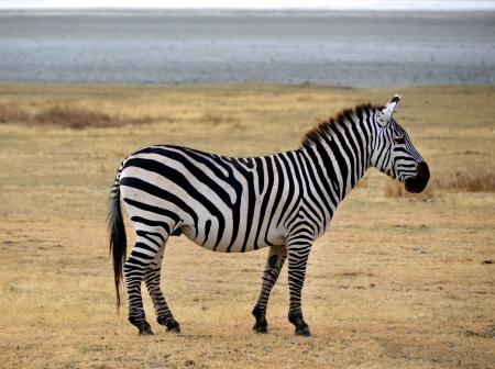 Zebra posing and curiously looking on dry plains of Ngorongoro crater near Serengeti National Park photo