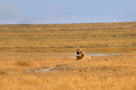kalahari: Female Lion yawning on dry Grasslands of Ngorongoro crater near Serengeti National Park Stock Photo