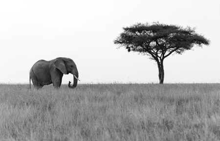 Elephant standing next to Acacia tree on the plains of Serengeti National Park