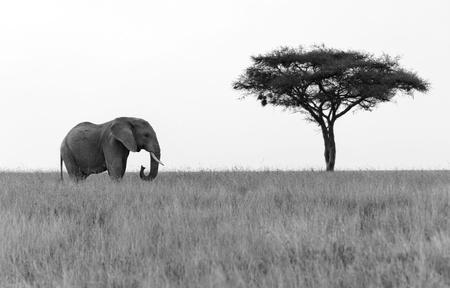 Elephant standing next to Acacia tree on the plains of Serengeti National Park Stock Photo - 16419699