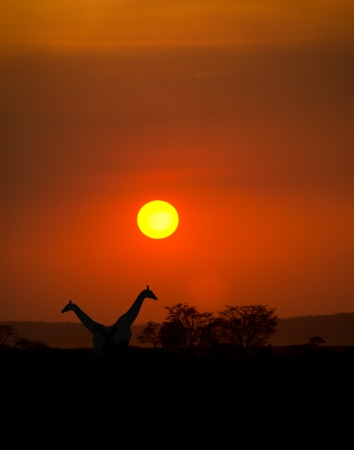 Big Setting sun with silhouettes of Giraffes and Acacia trees on Safari in Serengeti National Park photo