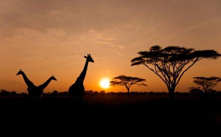 Untergehende Sonne mit Silhouetten von Giraffen und Akazien auf Safari in Serengeti Nationalpark