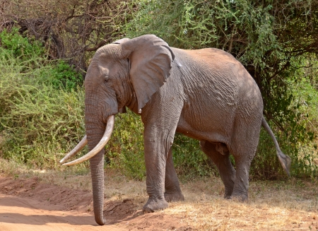 Big Male Elephant crossing the road in Lake Manyara National Park photo