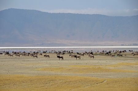 Ngorongoro Crater - herd of wildebeest and flamingos standing calmly at the bottom of the crater photo