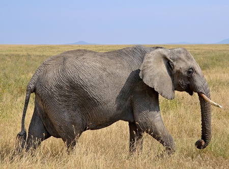 Female Elephant Walking in Dry Grass on Safari in Serengeti National Park photo