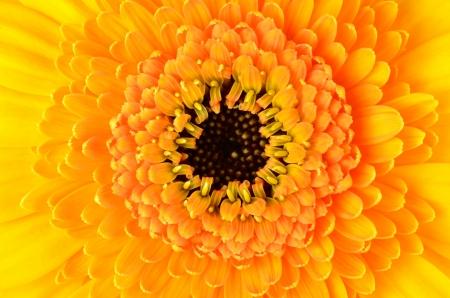 flowerhead: Yellow Gerber Marigold Flower   Macro Closeup on Flowerhead with Orange and Black Center Stock Photo