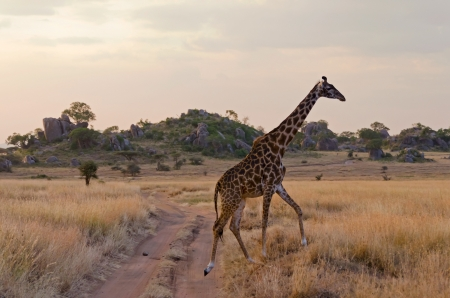 Girafe en traversant une route de gravier poussi�reux Parc national du Serengeti photo