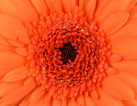 Orange Gerbera Marigold Flower Macro Stock Photo - 16971870
