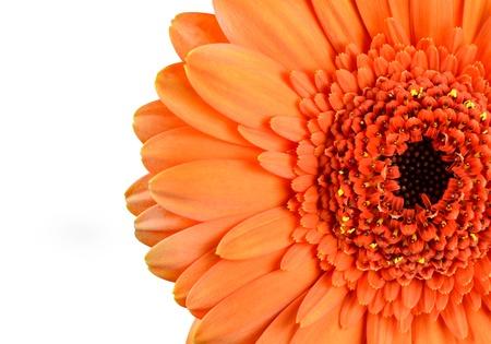 Orange Marigold Gerbera Flower Macro  Part of Flower is Isolated on White Background Stock Photo - 16971867