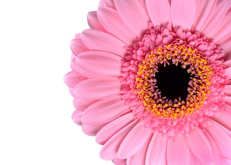 Pink Gerbera Marigold Macro Close-up Isolated on White Background Stock Photo - 16971868