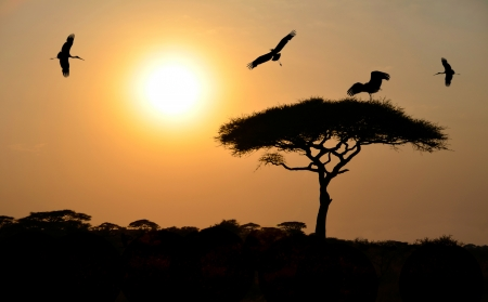 Birds flying above acacia tree during sunset on safari in Africa photo